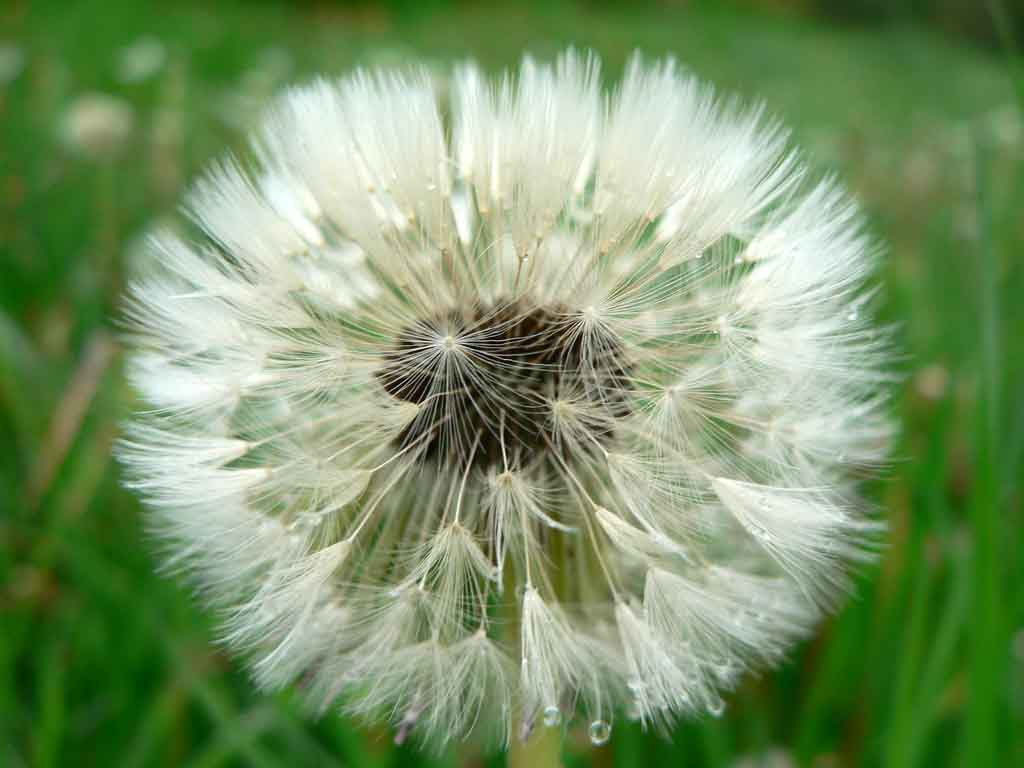 seeding dandelion low res